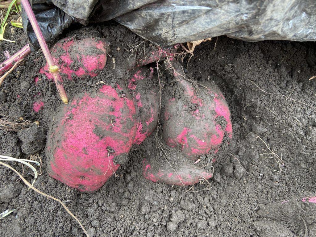 土をよけたサツマイモ
