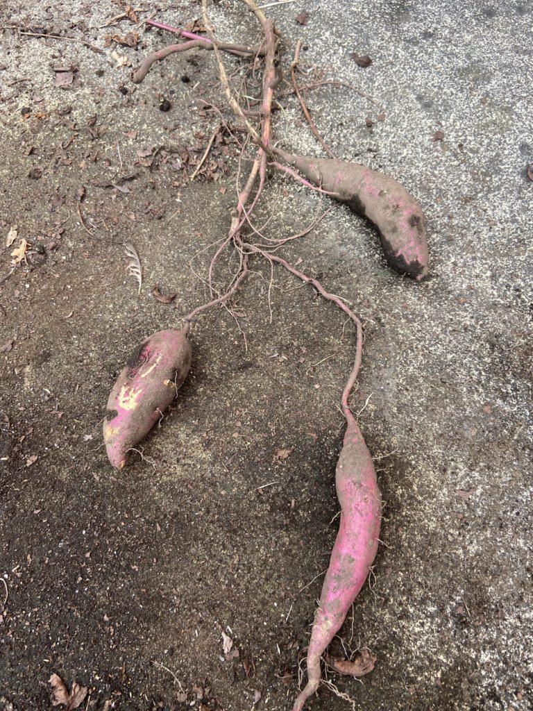 蔓つきのサツマイモ画像