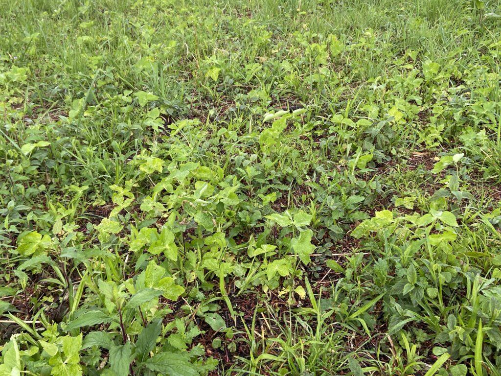 ミツバと雑草の画像